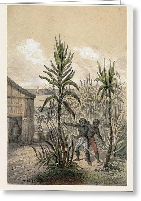 Sugar Can Farming, Sugarcane Plantation, Poaceae, Seed Greeting Card