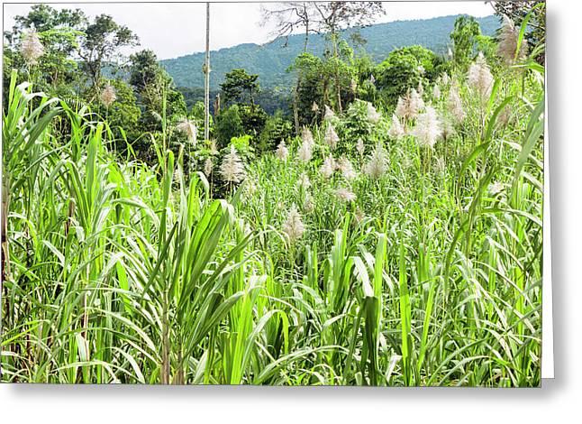 Sugar Cane Field Greeting Card by Dr Morley Read