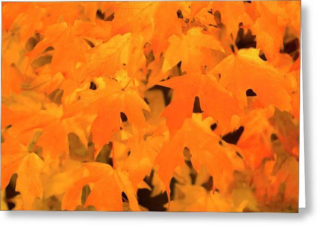 Sugar Maple (acer Saccharum) Greeting Card