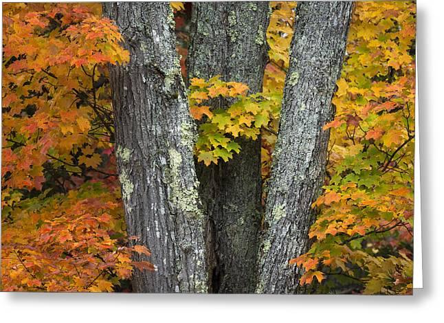 Sugar Maple In Autumn Greeting Card