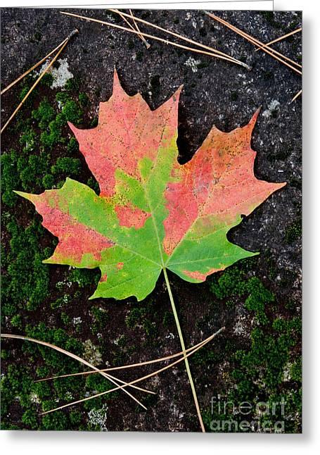 Sugar Maple Leaf Greeting Card
