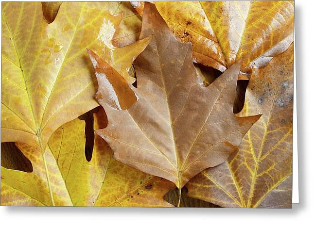 Sugar Maple Leaves Greeting Card