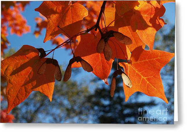 Sugar Maple Leaves From Below Greeting Card by Anna Lisa Yoder