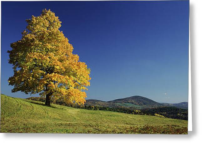 Sugar Maple Tree On A Hill, Peacham Greeting Card by Panoramic Images