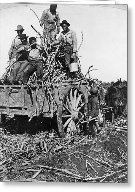 Sugar Plantation, 1901 Greeting Card by Granger