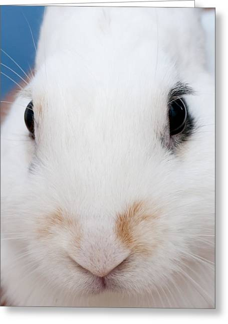 sugar the easter bunny 1 -A curious and cute white rabbit close up Greeting Card by Pedro Cardona