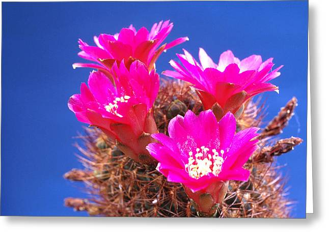 Sulcorebutia Clizensis Cactus Greeting Card by Carl Perkins