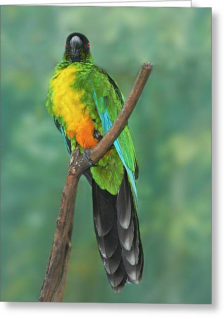 Sulphur-breasted Musk Parrot (prosopeia Greeting Card