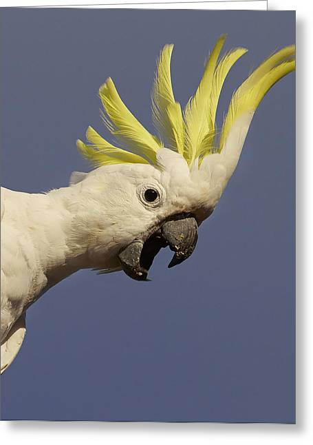 Sulphur-crested Cockatoo Displaying Greeting Card