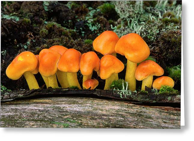 Sulphur Tuft Fungus Greeting Card by Nigel Downer