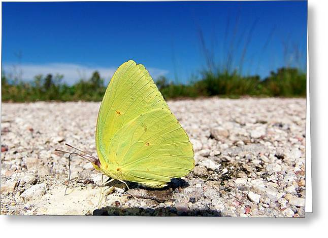 Greeting Card featuring the photograph Sulphur Yellow Butterfly by Chris Mercer