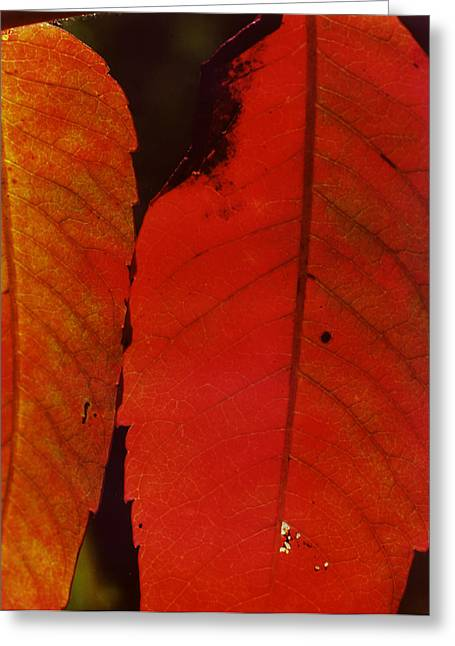 Sumac Leaves.jpg Greeting Card