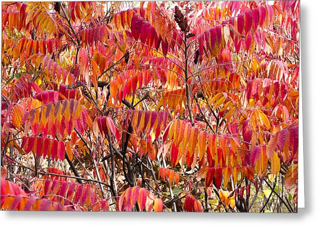 Sumac Greeting Card by Steven Ralser