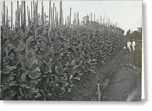 Sumatra Indonesia Boeloe Sjina Tobacco Fields Deli Mij Greeting Card by Artokoloro
