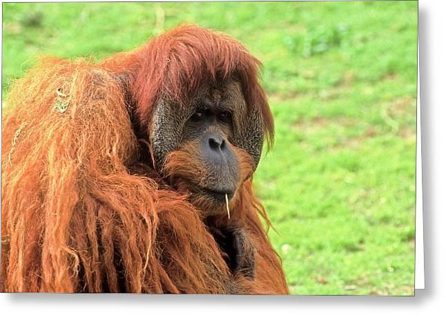 Sumatran Orangutan (pongo Abelii) Greeting Card