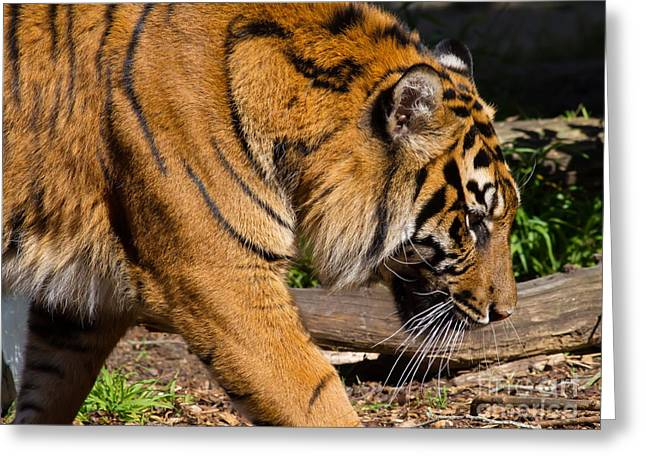 Sumatran Tiger 7d9092 Greeting Card by Wingsdomain Art and Photography