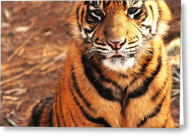 Sumatran Tiger Cub Greeting Card