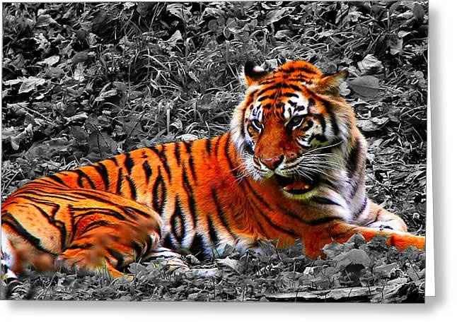 Sumatran Tiger Greeting Card by Davandra Cribbie