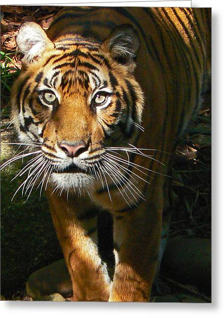 Sumatran Tiger Emerges Greeting Card by Margaret Saheed