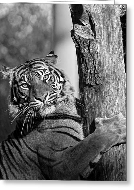 Sumatran Tiger Greeting Card by Gary Neiss