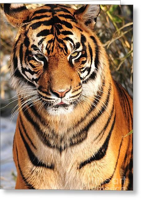 Greeting Card featuring the photograph Sumatran Tiger by Olivia Hardwicke