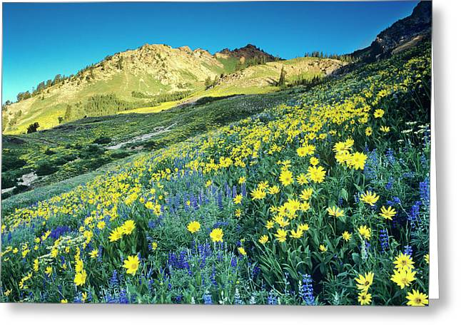 Summer Blue Lupine And Yellow Viguiera Greeting Card by Howie Garber