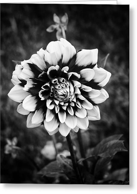 Summer Dahlia Greeting Card by Ben Shields