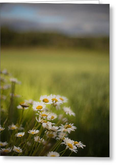 Summer Daisies Greeting Card by Jakub Sisak