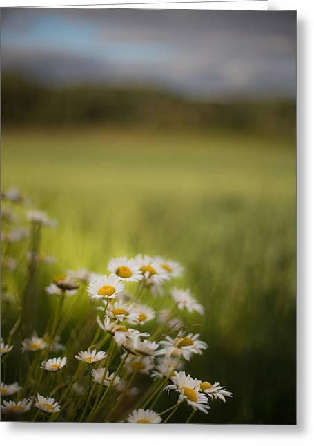 Summer Daisies Greeting Card by Jakub Sisak