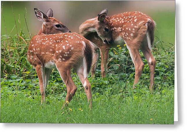 Summer Fawns Greeting Card
