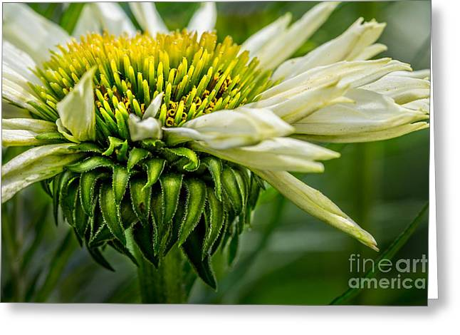 Summer Garden 1 Greeting Card by Susan Cole Kelly Impressions