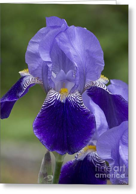Summer Iris Greeting Card
