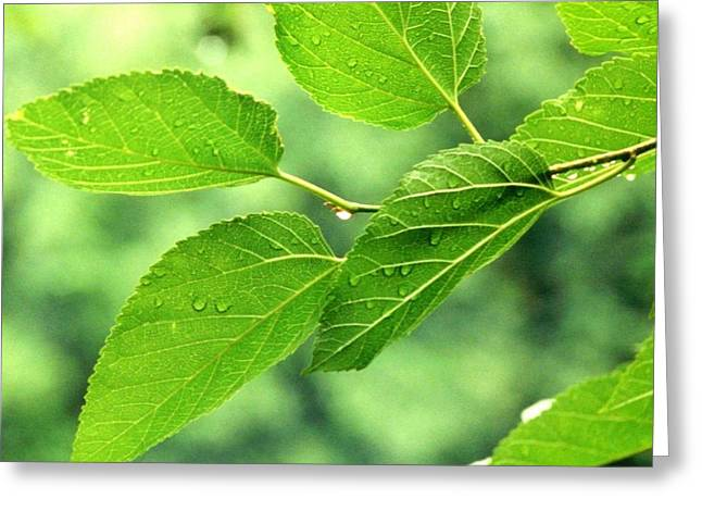 'summer Leaves With Raindrops'  Greeting Card