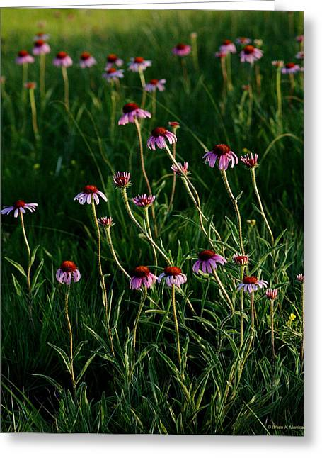 Summer Of Echinacea Greeting Card