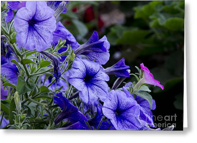 Greeting Card featuring the photograph Summer Petunias by Wilma  Birdwell
