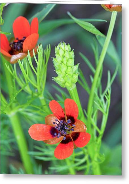 Summer Pheasant's Eye (adonis Aestivalis) Greeting Card by Bob Gibbons