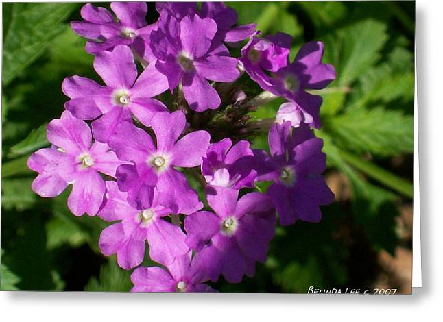 Greeting Card featuring the photograph Summer Phlox by Belinda Lee