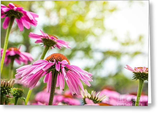 Summer Pink 1 Greeting Card by Susan Cole Kelly Impressions