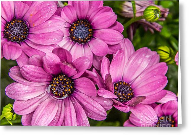 Summer Pink 3 Greeting Card by Susan Cole Kelly Impressions