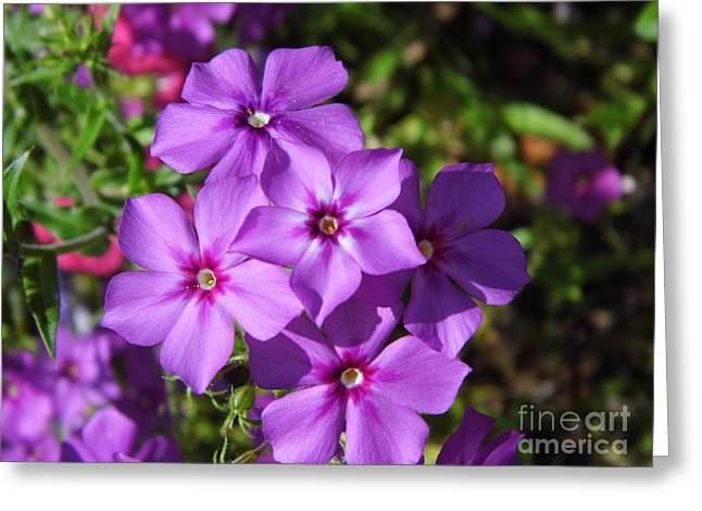Greeting Card featuring the photograph Summer Purple Phlox by D Hackett