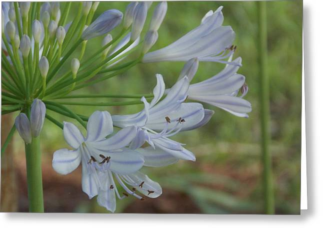 Summer Skies - African Lily Greeting Card by Annette Allman