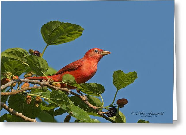 Summer Tanager Greeting Card by Mike Fitzgerald