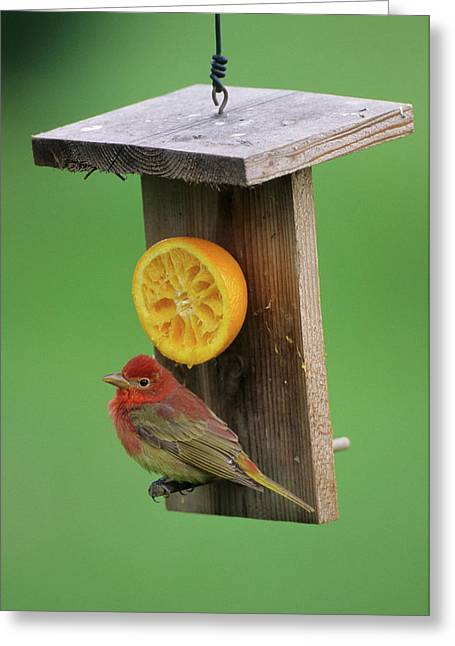 Summer Tanager (piranga Rubra Greeting Card by Richard and Susan Day