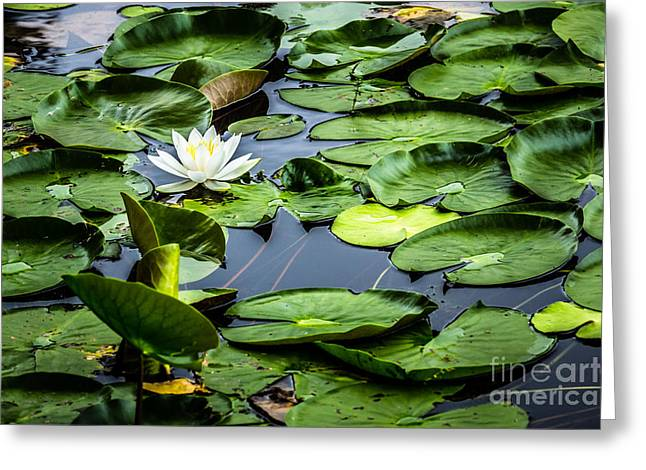 Summer Water Lily 1 Greeting Card by Susan Cole Kelly Impressions
