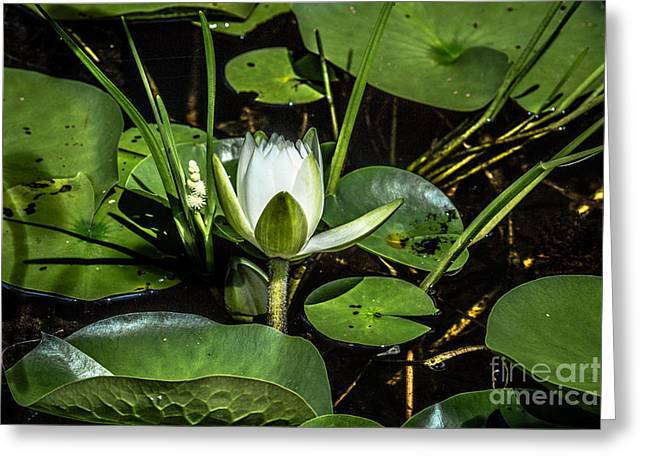 Summer Water Lily 2 Greeting Card by Susan Cole Kelly Impressions