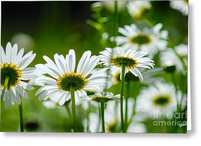 Summer Time Daisys Greeting Card
