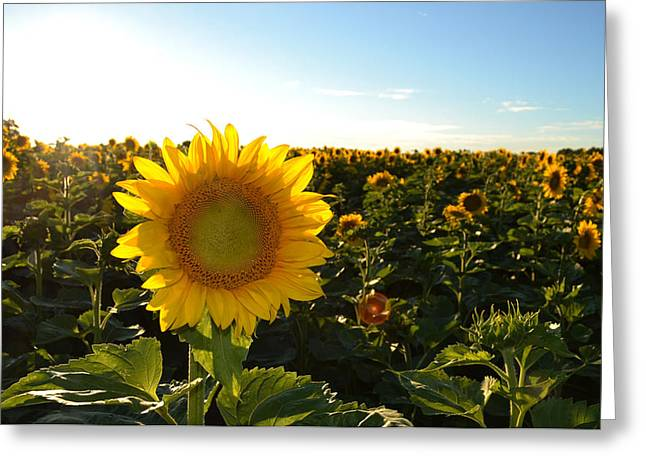 Sun And Sunflower 2  Greeting Card by Lyle Crump