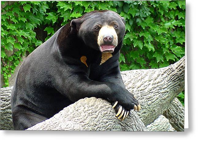 Sun Bear - 09515-1 Greeting Card by Gary Gingrich Galleries