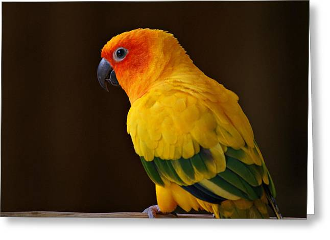 Sun Conure Parrot Greeting Card