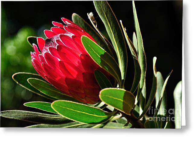 Sun-filled Protea Greeting Card by Kaye Menner